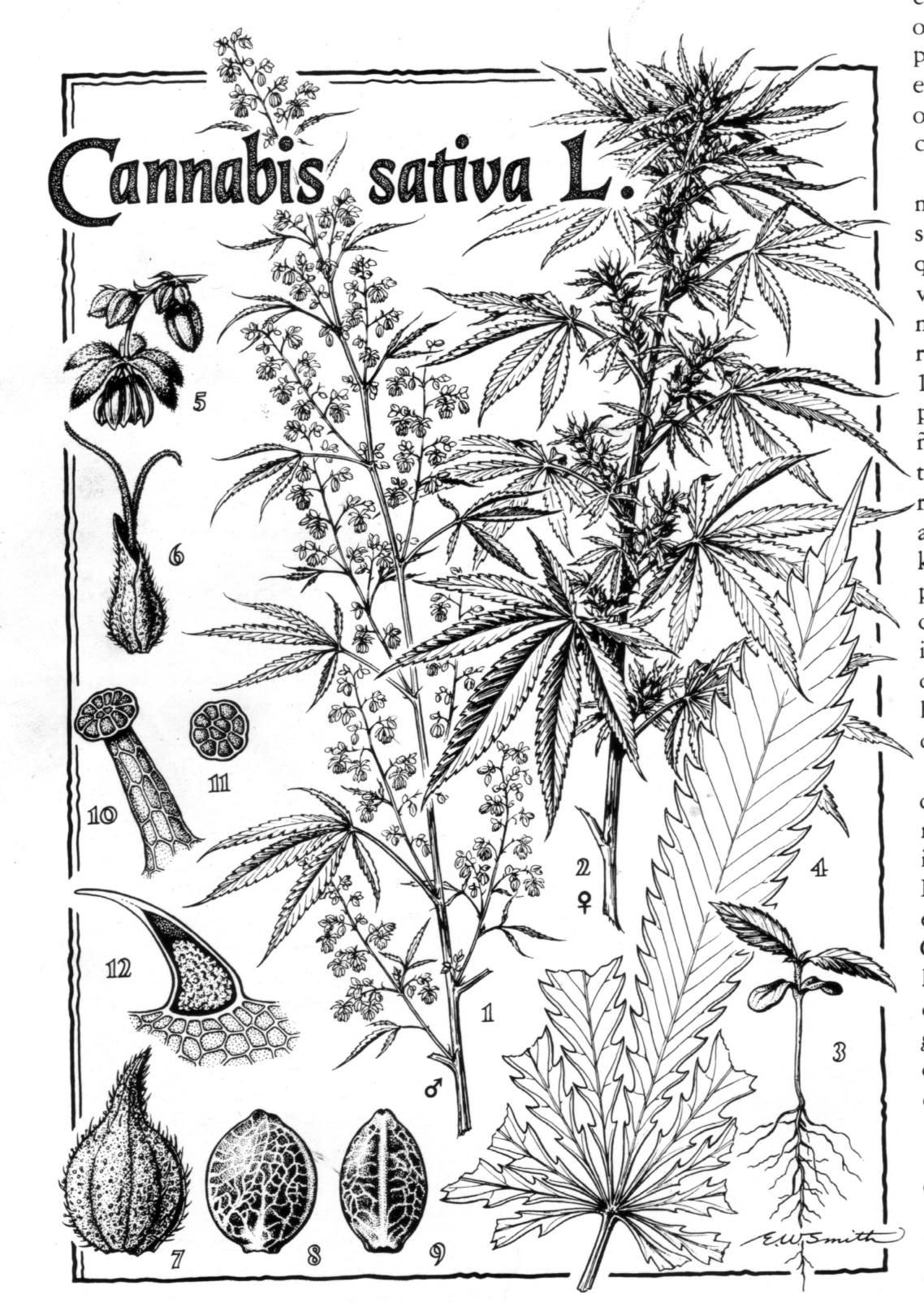 Dibujo de una planta grande de marihuana.