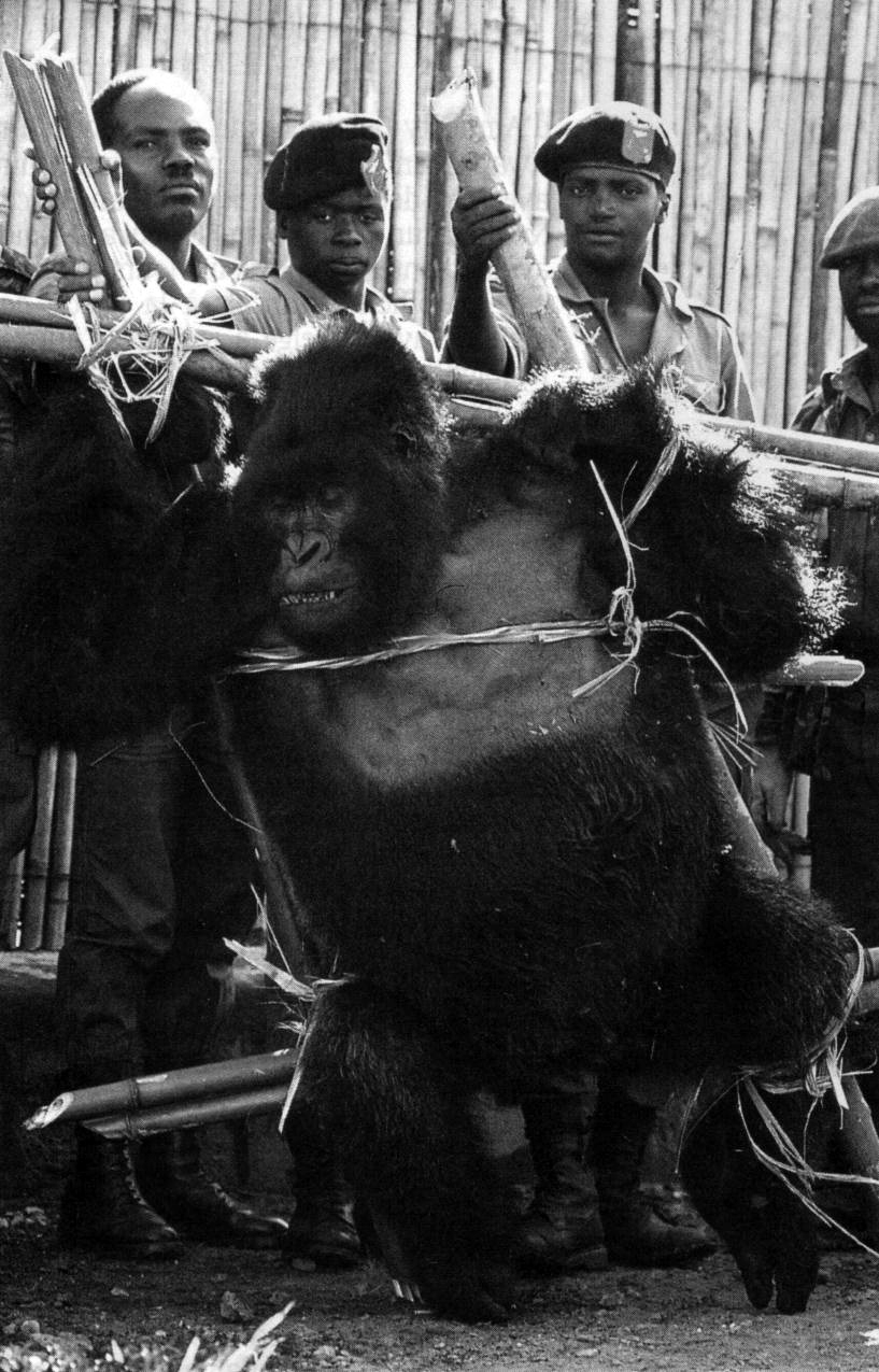 Captura de un gorila