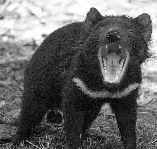 Demonio de Tasmania, uno de los más cotizados