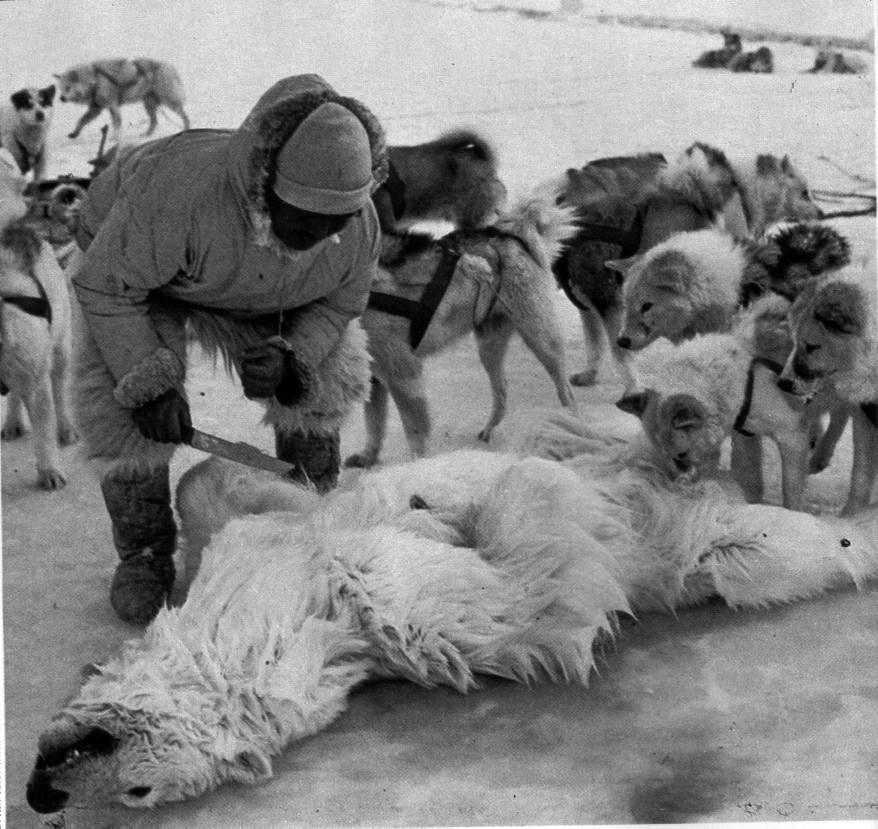 Piel de oso polar