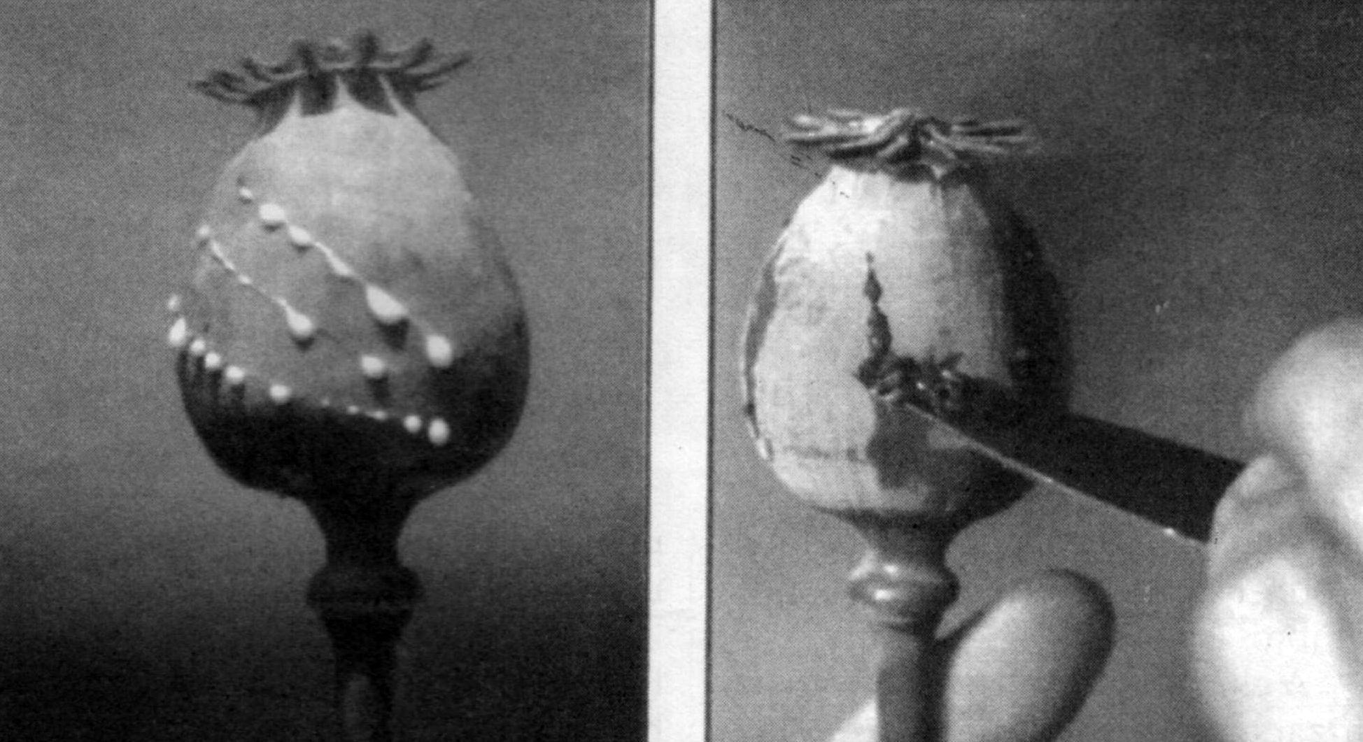 El opio se extrae de la amapola