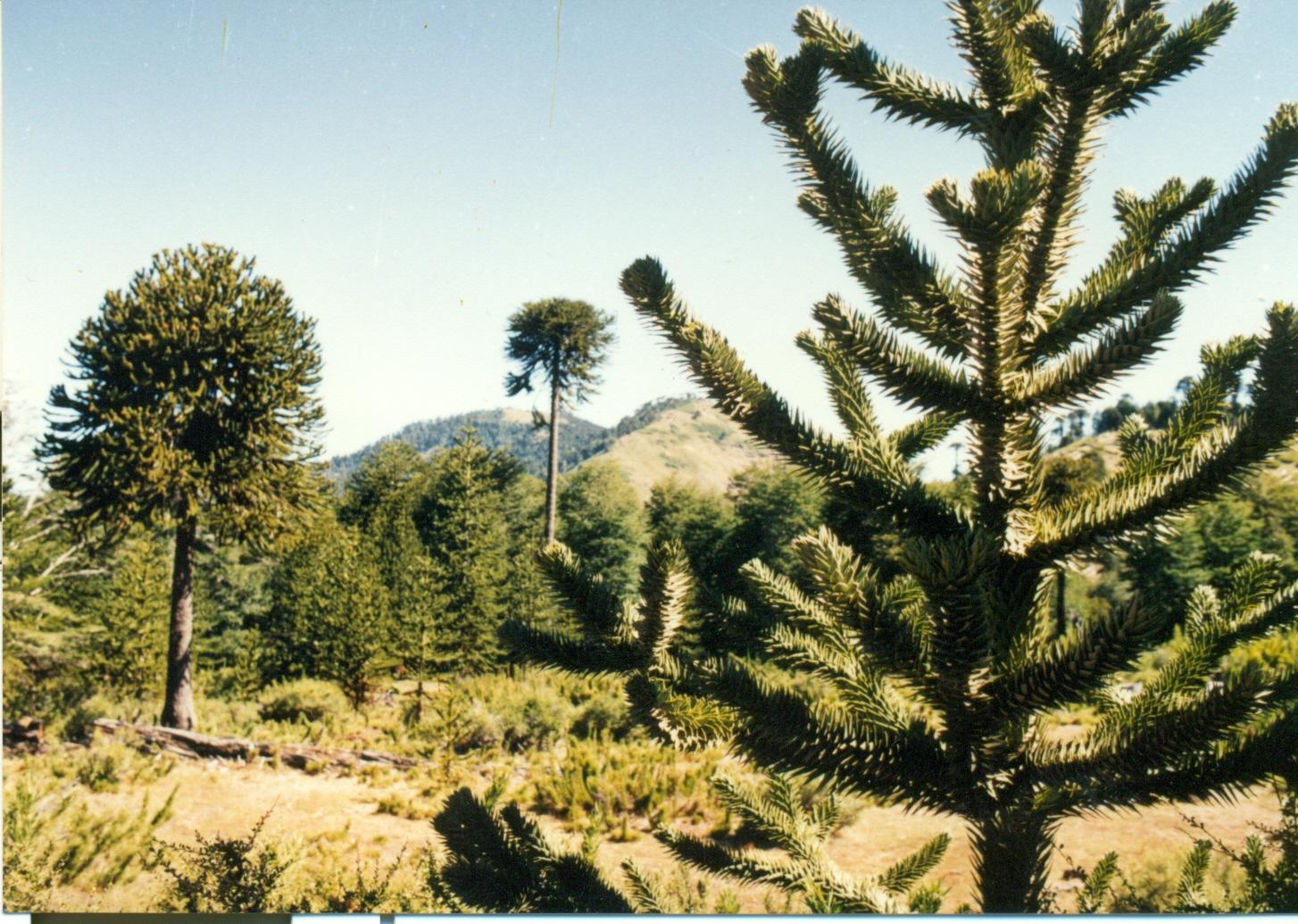 Las araucarias, verdadero símbolo del hábitat mapuche. Fotografía de Nelson Muñoz Mera.