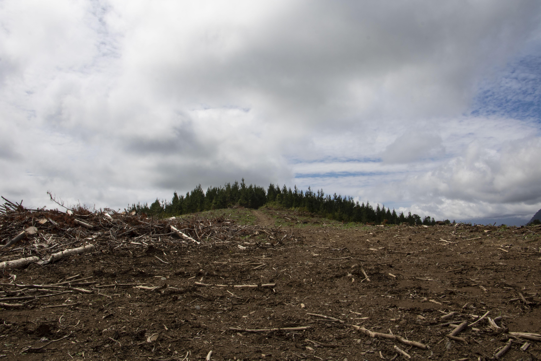 Deforestación de pinos en el Fundo Santa Filomena. Fotografía Catalina Mundaca. .