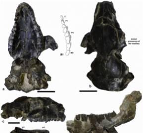 Vista de fósiles del protypotherium concepcionensis, el nuevo interatérido descubierto.