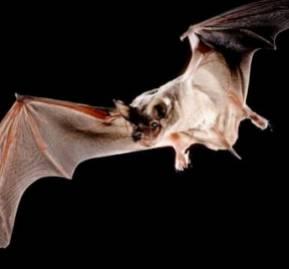Murciélago Tadarida Brasiliensis